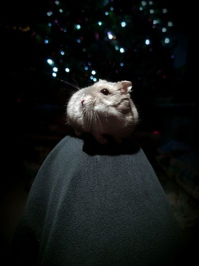 Close-up of hamster standing by christmas tree