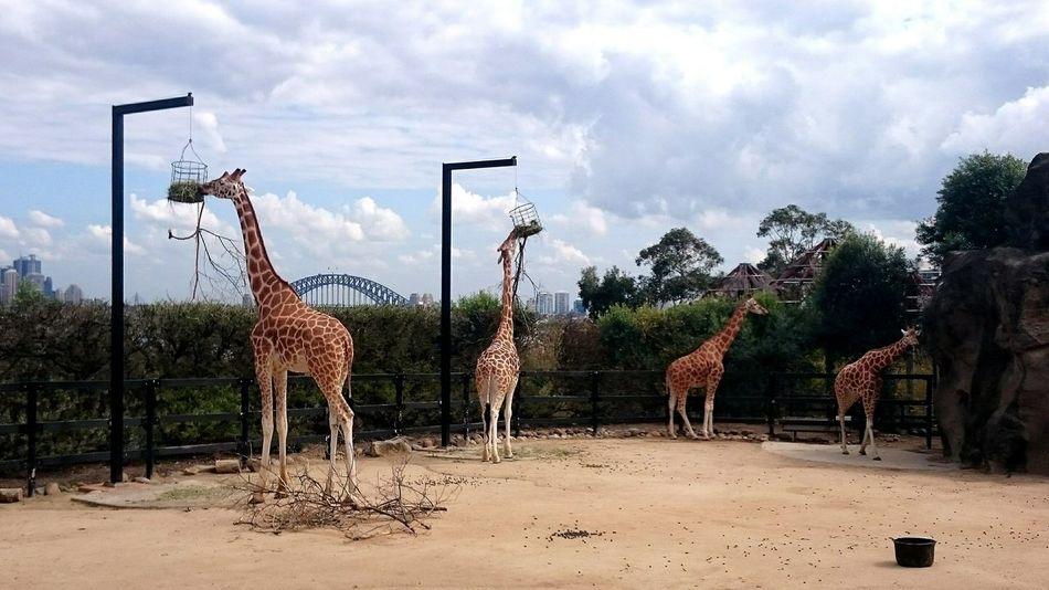 Loving the view at Taronga Zoo Sydney Animal Themes Safari Animals Outdoors Sky Zoology Giraffes!