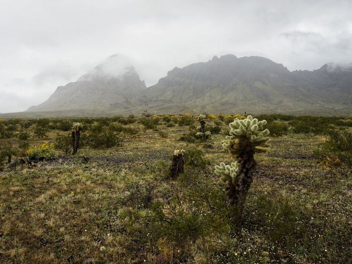 Scenic view of cholla cactus field and mountains in clouds
