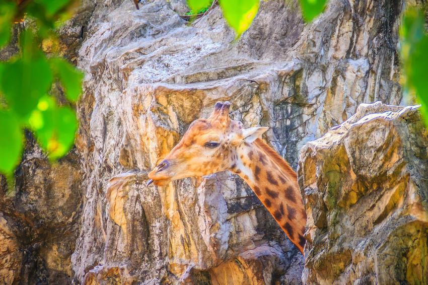 Soft focus of cute Giraffe, Giraffa camelopardalis, mammal ruminant of the Artiodactyla order, the tallest living animal of the world. Giraffa Camelopardalis Giraffe Giraffe Head Cute Giraffe Giraffa Giraffe Portrait