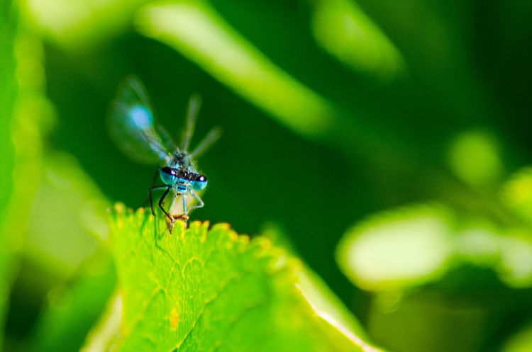 Dragonfly Animal Animal Themes Animal Wildlife Animal Wing Animals In The Wild Beauty In Nature Blade Of Grass Close-up Day Focus On Foreground Green Color Growth Insect Invertebrate Leaf Nature No People One Animal Outdoors Plant Plant Part Selective Focus