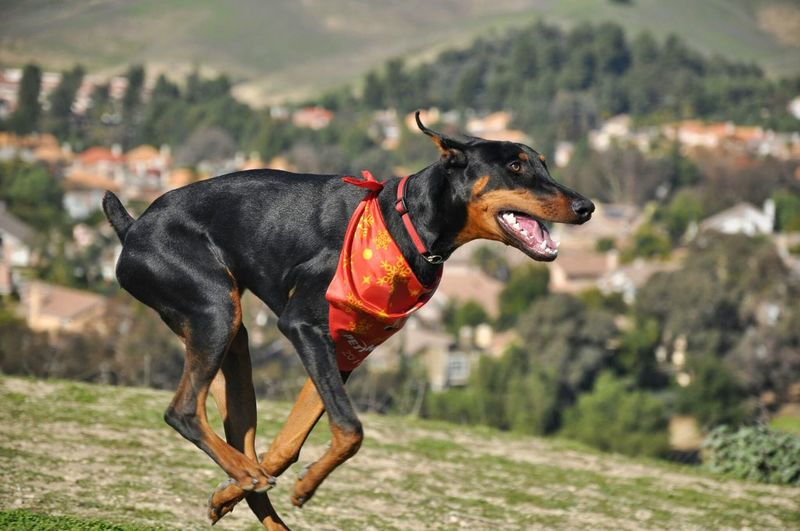 Running Dog Black Dog Doberman  Dog Ruining No Leash Happy Happy Dog Hills On The Hilltop