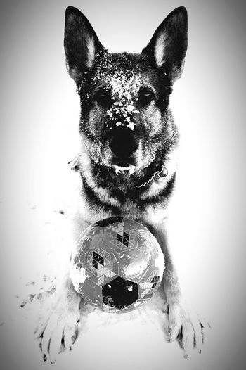 Pets Dog One Animal Animal Themes Domestic Animals Looking At Camera Portrait Mammal Close-up No People White Background GSD German Shepherd Germanshepherd Pet Pet Photography  Blackandwhite Black And White Dog With A Ball Dog In Snow Winter Dog With Toy Outdoors