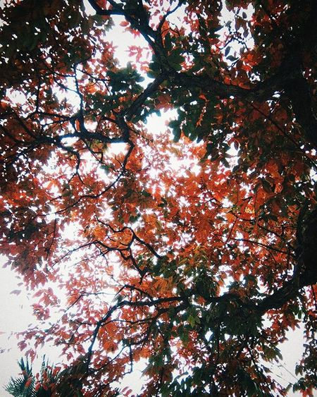 The lagerstroemia Tree in uni's campus, thoes red leaves are so cool, make me feel like Autumn 🍂🍂🍂 Red Trees Vscovietnam VSCO Vscocam Instaplant