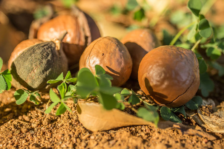 macadamia nuts that fell from a tree Food Food And Drink Leaf Plant Part Freshness No People Close-up Nature Healthy Eating Wellbeing Plant Brown Selective Focus Day Growth Nut Fruit Outdoors Field Nut - Food Ripe Macadamia Macadamia Nuts