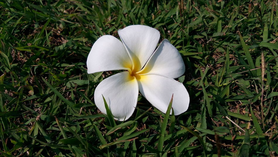 Plumeria flower Plumeria Beauty In Nature Blooming Close-up Day Flower Flower Head Fragility Frangipani Freshness Grass Green Color Growth Nature No People Outdoors Petal Plant Plumeria Blossoms Plumeria Flowers Snowdrop White Color