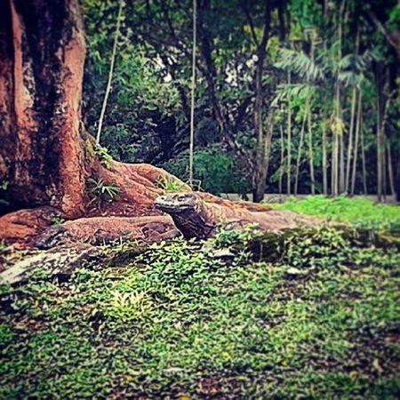 Komodo Dragon Komodo Dragon Giant Lizzard Reptile Animal Endangered  Blood Poison Enzim Saliva Bit  INDONESIA Nusatenggara Ragunan Zoo