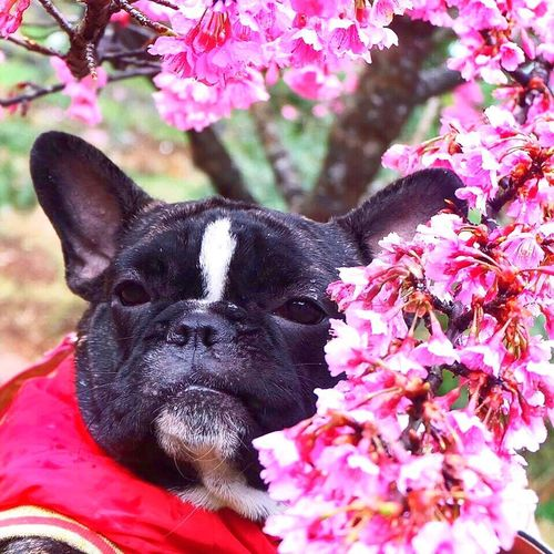Close-up portrait of dog on pink flowers