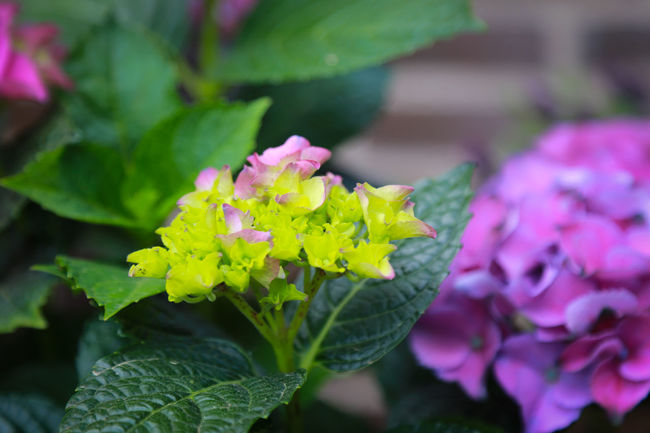 Beauty In Nature Bunch Of Flowers Close-up Day Flower Flower Head Flowering Plant Focus On Foreground Fragility Freshness Green Color Growth Inflorescence Lantana Leaf Nature No People Outdoors Petal Pink Color Plant Plant Part Purple Springtime Vulnerability