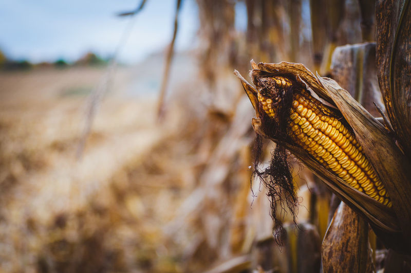 Close-up No People Day Corn Nature Animal Wildlife Land Animal Focus On Foreground Selective Focus Animal Themes Animals In The Wild Cereal Plant Plant Corn On The Cob One Animal Outdoors Crop  Agriculture Food Sweetcorn