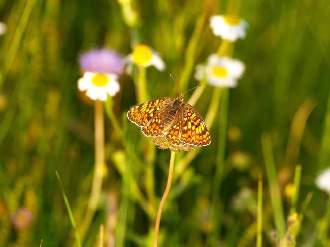 Animal Themes Animals In The Wild Beauty In Nature Butterflies Butterfly Butterfly - Insect Close-up Day Environment Flower Focus On Foreground Fragility Freshness Growth Insect Insects  Nature Nature No People One Animal Outdoors Plant Springtime Srping