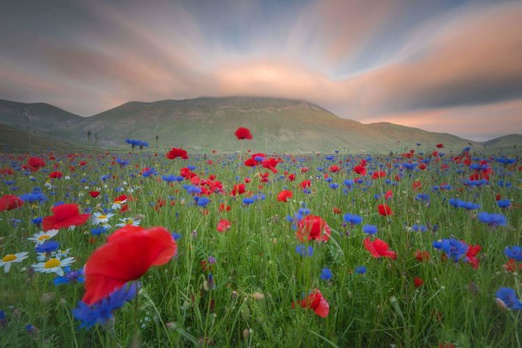 Red poppy flowers in field at sunset