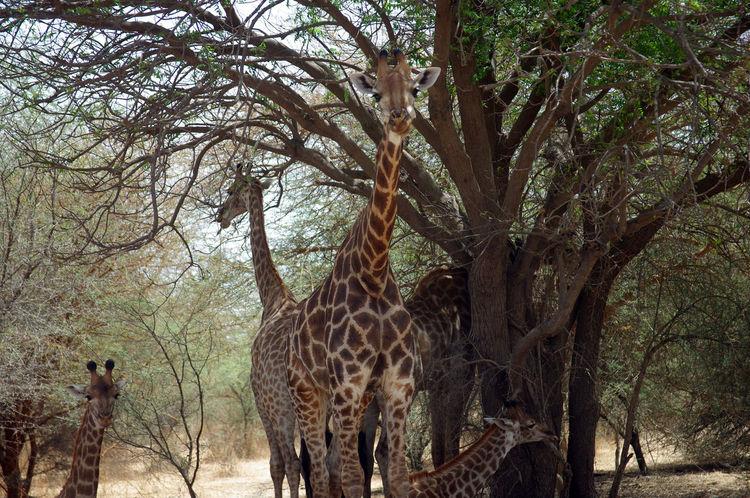 Africa Animal Themes Animal Wildlife Animals In The Wild Bandia Reserve Bare Tree Giraffe Giraffe Mammal Nature Preservation Protectedspecies Safari Safari Animals Senegal Tree Waiting Wild Animal Wildlife