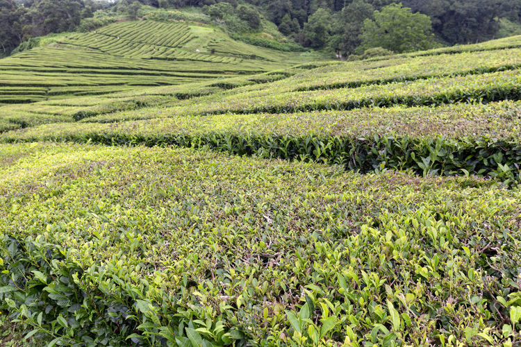 One of only two European tea plantations on the island of Sao Miguel in the Azores. Sao Miguel Portugal Azores Island Archipelago Tea Gorreana Production Factory Rows Hedges Europe European  Black Green Travel Destination Tourism Tour Camellia Sinensis Plantation Agriculture Lanscape Farm Organic