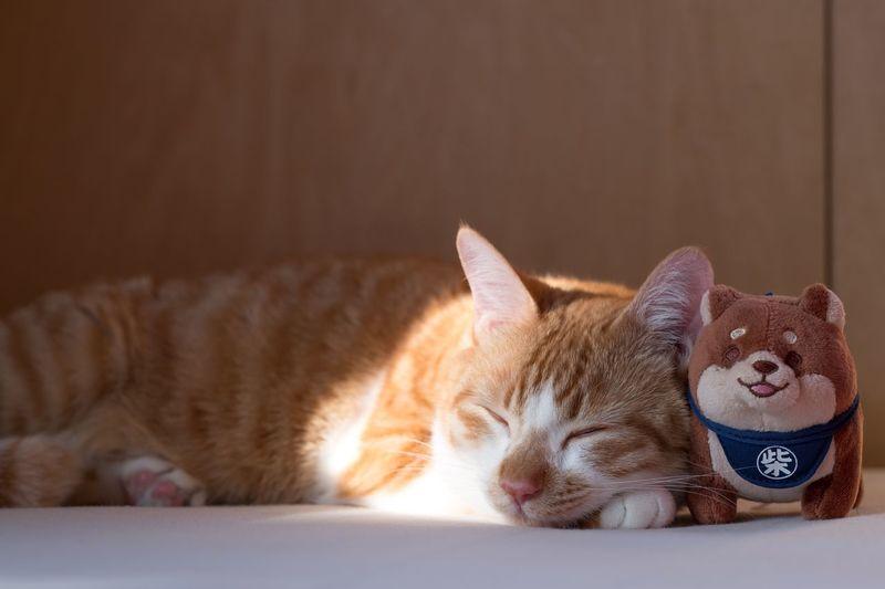 Cat One Animal Indoors  Japan Sleeping Cat