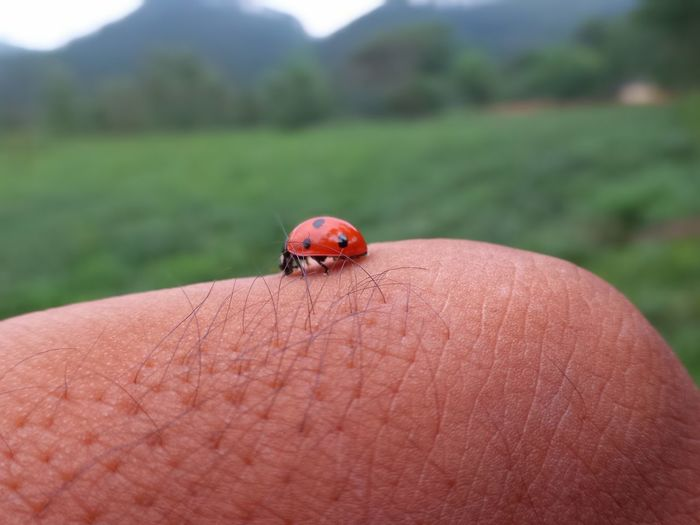 Ladybug🐞 Focus On Foreground Human Hand Beetle Ladybird🐞 Ladybug Close-up Day Nature Dof ZenfoneZoom EyeEmNewHere