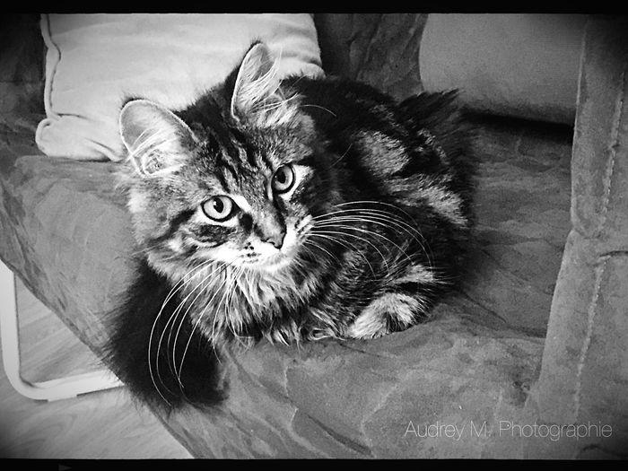 Lipsi 6mois 6months Cat Chat MonChat  Mycat♥ Mycat Maine Coon Mainecoon Female Femelle Eyemphotography Blackandwhite Noiretblanc Noir Et Blanc B&w Photo