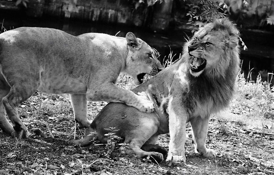 A couple of lions at the Jacksonville Zoo & Gardens Conservation African Lions Lions Jacksonville Zoo Mammal Animal Vertebrate Animal Wildlife Animals In The Wild Two Animals Nature Conflict The Great Outdoors - 2018 EyeEm Awards