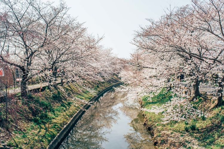 Tree Plant Water Beauty In Nature Nature Day Flower Sky No People Springtime Branch River Blossom Growth Tranquility Cherry Blossom Scenics - Nature Flowering Plant Outdoors Cherry Tree