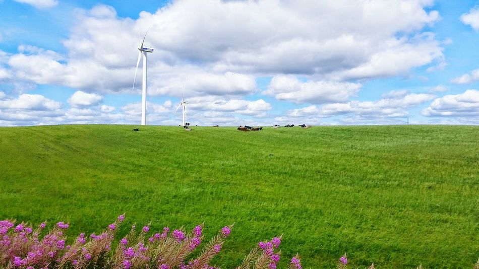 Danish nature... Landscapes With WhiteWall Windmill Landscape Cows Cow Feild Grass Nature Grass Field Flowers Flower Plant Plants Sky Clouds Day Denmark Danish Nature Outdoors EyeEm Nature Lover Taking Photos Laying Down Farm Animals Animals Animal