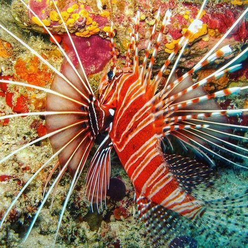 Another angle of Lionfish Lifeisbeautiful Respectlife Maldives myphotography malediven maledives underwaterlife uwphotography fish saltwater hobby adventure nitroxdive deepbluesea tropical marinelife lionfish
