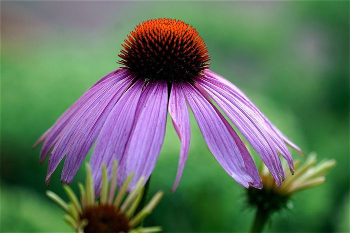 Tadaa Community Open Edit Flower Flower Head Sonnenhut Purple Close-up Blooming Outdoors No People