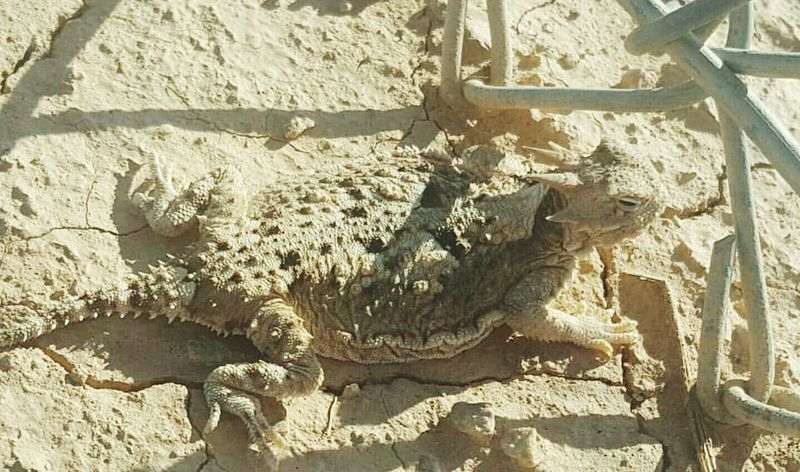 Horned Lizard Horny Toad Desert Outdoors Nature Close-up Shadow Day