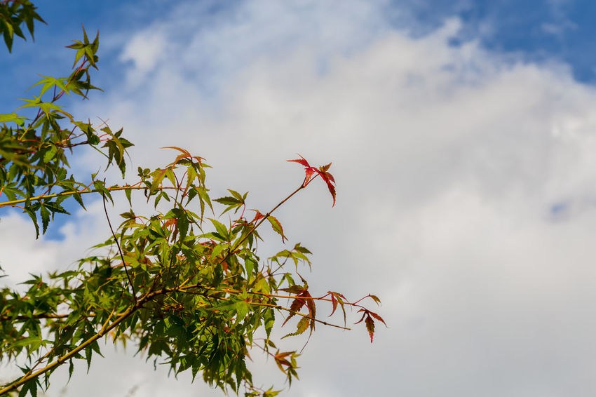 Japanese maple Autumn Autumn colors Autumn Leaves Cloud Copy Space Japan Japan Photography Japanese Maple Yamanashi Autumn Beauty In Nature Branch Cloud - Sky Clouds And Sky Green Color Leaf Low Angle View Nature No People Plant Red Sky Tree White Yamanakako