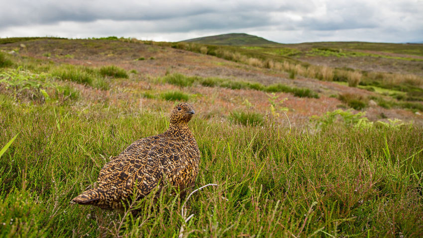 Red Grouse on a cloudy day - landscape with bird Lagopus Lagopus Scotica Animal Themes Beauty In Nature Cloud - Sky Moor  Nature Outdoors Red Grouse Tranquility Wide Angle View Wildlife