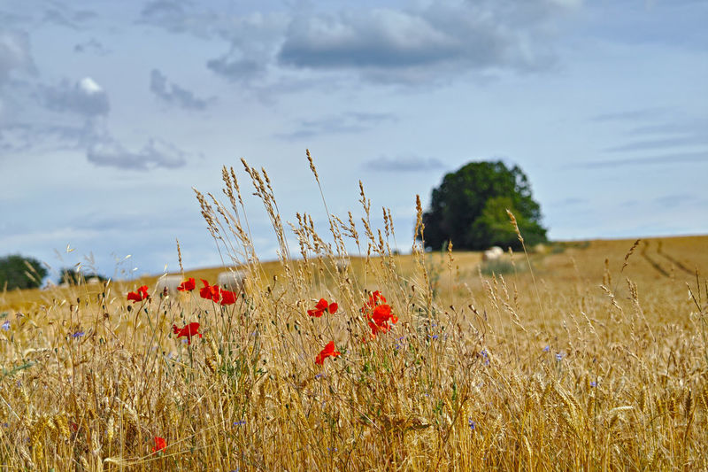 Plant Field Growth Land Landscape Beauty In Nature Sky Tranquility Tranquil Scene Cloud - Sky Nature Environment Rural Scene Flower No People Cereal Plant Crop  Day Agriculture Scenics - Nature Outdoors Getreidefelde Roter Mohn