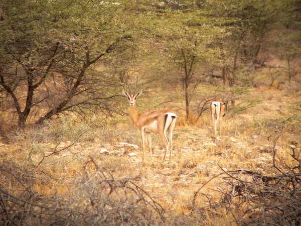 Shaba National Reserve in Northern Kenya - Gazelles Kenya National Park The Week On EyeEm Africa Animal Themes Animal Wildlife Animals In The Wild Antelope Day Forest Full Length Grass Mammal Nature No People One Animal Outdoors Safari Safari Animals Stag Standing Travel Destinations