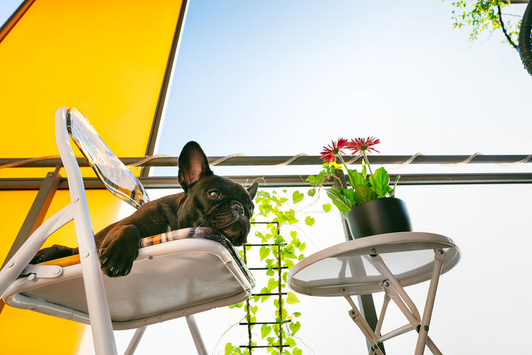 View of french bulldog dog on foldable chair and  table in balcony against clear sky