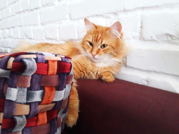 Ginger Cat Sofa