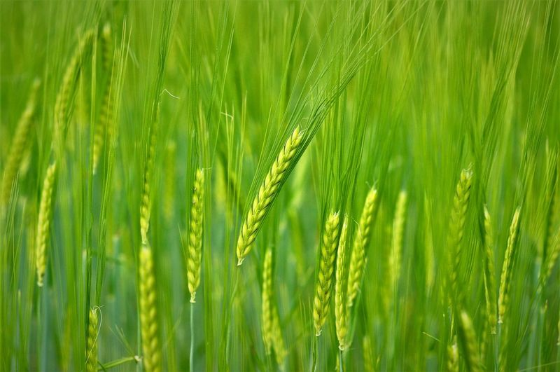 Spike Agriculture Backgrounds Beauty In Nature Cereal Plant Close-up Crop  Environment Field Green Color Nature No People Springtime Wheat #FREIHEITBERLIN The Still Life Photographer - 2018 EyeEm Awards A New Beginning Holiday Moments Capture Tomorrow My Best Photo Stay Out The Great Outdoors - 2019 EyeEm Awards