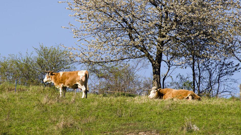 cows Animal Animal Themes Animal Wildlife Cow Domestic Domestic Animals Field Grass Group Of Animals Herbivorous Land Landscape Livestock Mammal Nature No People Outdoors Pets Plant Sky Tree Vertebrate