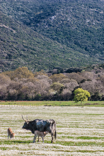 Maremma field with white flowers and buffalo cows Tree