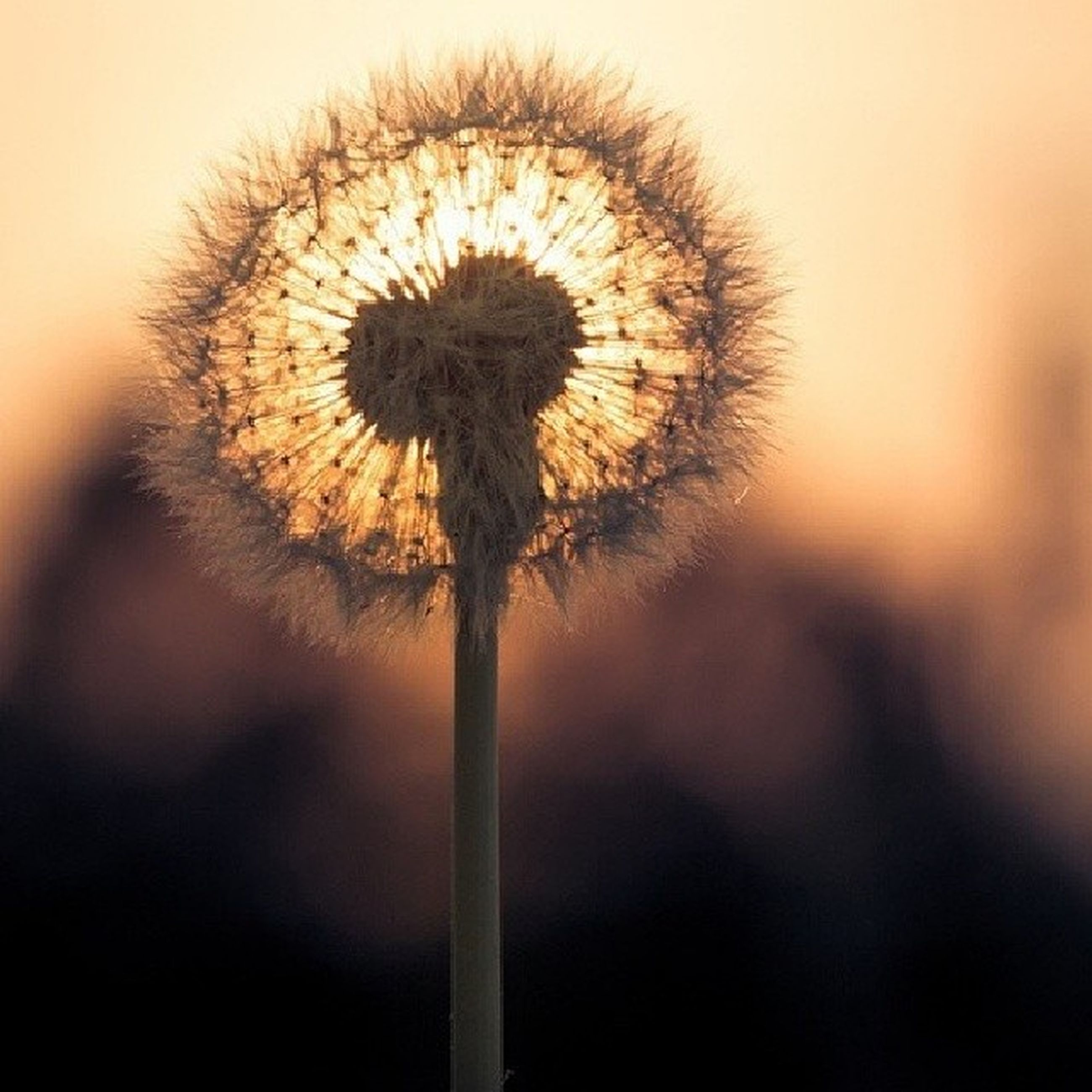 dandelion, flower, fragility, growth, flower head, focus on foreground, close-up, beauty in nature, single flower, freshness, nature, stem, softness, plant, outdoors, no people, uncultivated, selective focus, field, dandelion seed
