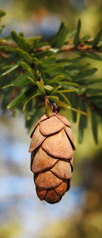 """"""" Hanging Around """"..... Close-up Day Growth Nature No People Outdoors Pine Cone Spruce Cone"""