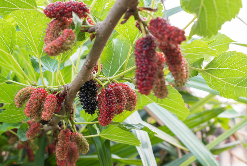 Mulberry fruits Berry Juicy Tree Agriculture Freshness Green Plants Eating Healthy Leaf Mulberry Fruits Organic Food Sweet