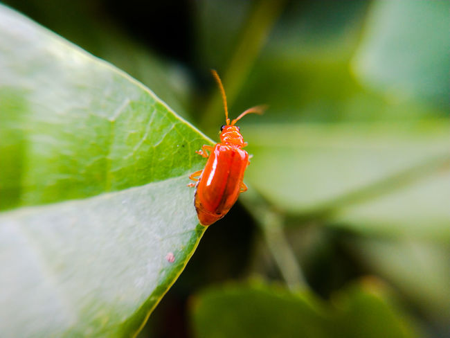Red bug on the leaf Leaf Red Insect Butterfly - Insect Close-up Green Color Ladybug Tiny Bug Beetle Animal Antenna