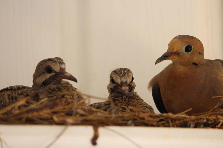 Baby Baby Bird Bird Fledgling Mourning Dove Mourning Doves Nest Wildlife Animal Nature