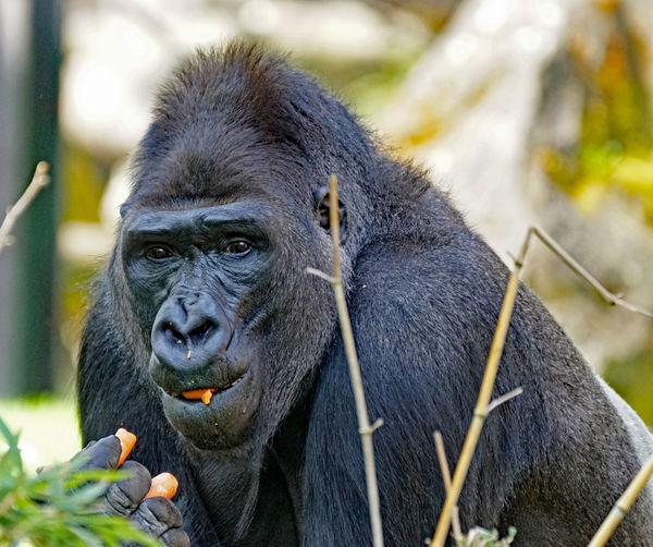 Gorilla The