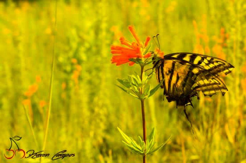 Y justo cuando penso que era el final... No dejo de volar. Butterfly Butterfly Collection Butterfly - Insect Flower Naturaleza Mariposa Paracho Nature Photography Karencampos
