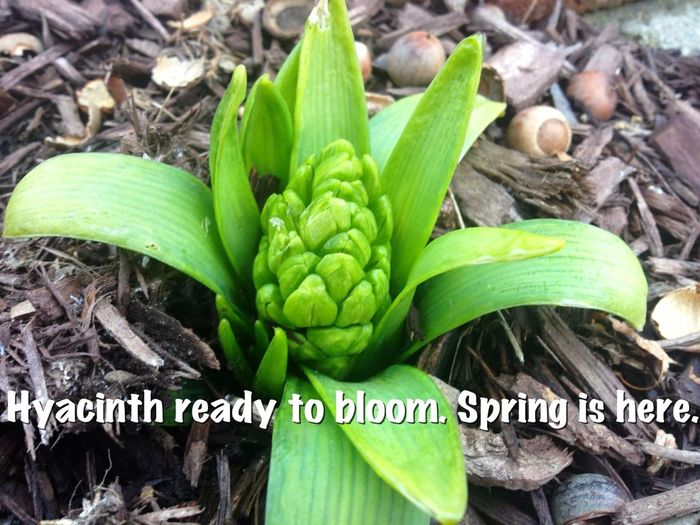 Waiting For Spring Flower Porn Spring Flowers Hyacinth