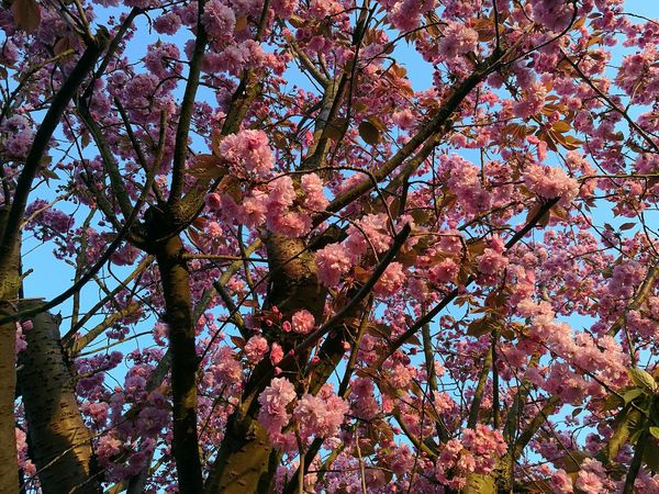 Evening Sun Evening Light Evening Blossoms Springtime P9 Huawei Blossoming Tree Pink Blooms Blue Sky Evening April Evening Glow Sun On A Flower Sun On The Tree🍃 Sunlight On Flower Pink Pink And Blue Pink Flowers Blue Sky Tree Outdoors Low Angle View Branch Blossom Close-up Sky Nature Beauty In Nature