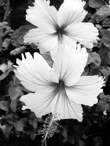 Blackandwhite Photography Hibuscus Flower No People Outdoors Flower Nature Beauty In Nature Fragility Flower Head Freshness