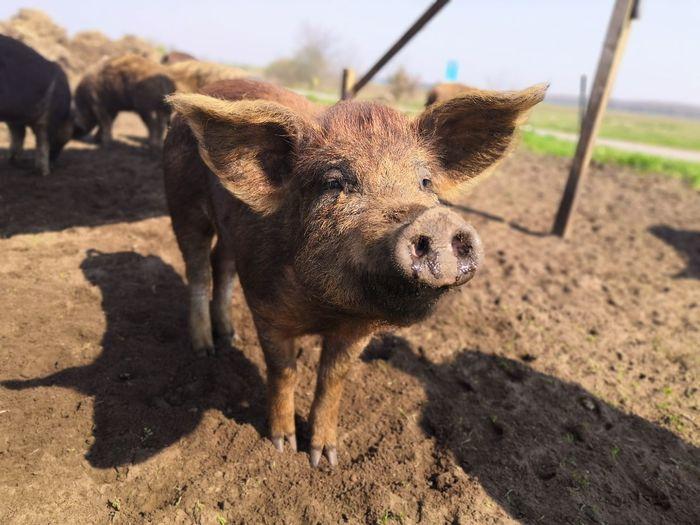 Piggy Shadow