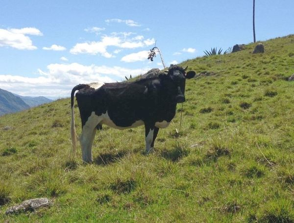 Travel Destinations Cow EyeEm EyeEmNewHere EyeEm Nature Lover Mountain Nature_collection Beauty In Nature Cuenca, Ecuador Girón Collecting Fungus Looking For Mushrooms Cows Muuu🐄 In The Mountains
