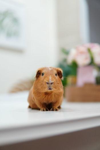 Close-up of a guinea pig at home
