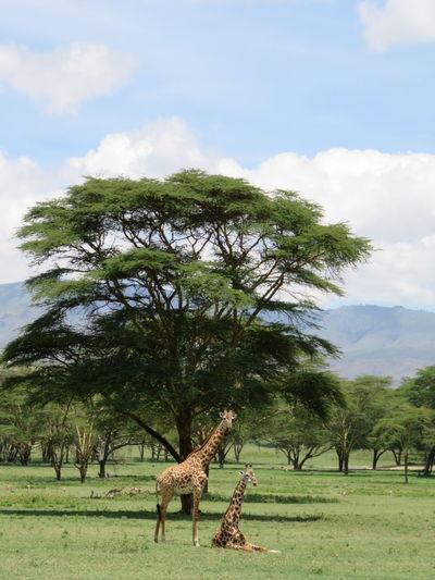 Giraffe Giraffes Trees Nature Kenya Africa Safari Safari Animals Animals In The Wild Animal Wildlife Herbivorous Gaming African Safari